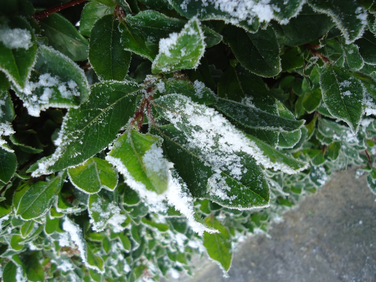 frost leaves snow